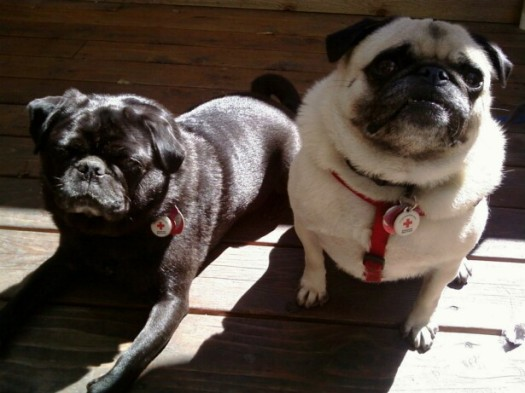 Two Red Cross Pugs